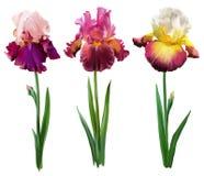 Gebaarde iris op een witte achtergrond royalty-vrije illustratie