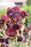 Gebaarde Irisbloem, irisgermanica in bloei stock afbeelding