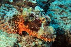 Gebaarde scorpionfish Royalty-vrije Stock Foto's