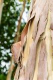 Gebarsten de schors van de eucalyptusboom Stock Fotografie