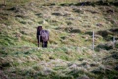 Geben Sie Pferd in Island frei, das die freien Leben diesem ist Lizenzfreies Stockfoto