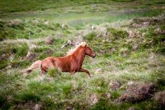Geben Sie Pferd in Island frei, das die freien Leben diesem ist Stockbild