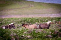 Geben Sie Pferd in Island frei, das die freien Leben diesem ist Stockfotografie