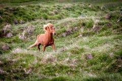 Geben Sie Pferd in Island frei, das die freien Leben diesem ist Stockbilder