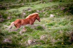 Geben Sie Pferd in Island frei, das die freien Leben diesem ist Lizenzfreie Stockfotografie