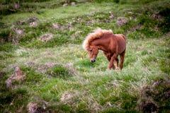 Geben Sie Pferd in Island frei, das die freien Leben diesem ist Lizenzfreie Stockfotos
