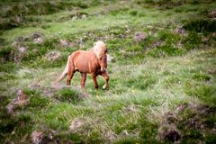 Geben Sie Pferd in Island frei, das die freien Leben diesem ist Lizenzfreies Stockbild