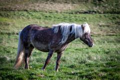 Geben Sie Pferde in Island frei, das die freien Leben diesem ist Lizenzfreies Stockfoto