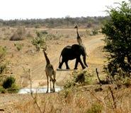 Geben Sie zu den Elefanten nach Stockfoto