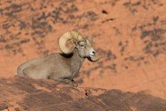 Gebetteter Wüsten-Bighorn-Schafe Ram Lizenzfreies Stockbild