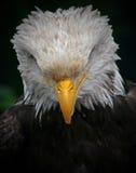 Gebeugter Adler Stockfotografie