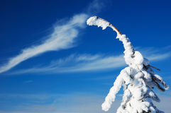 Gebeugter snow-covered Tannenbaum Lizenzfreies Stockfoto