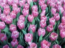 Gebied 3 van de tulp Stock Afbeelding
