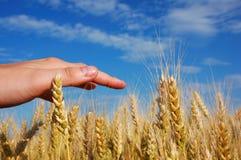 Gebied 8 van het graan Stock Afbeelding
