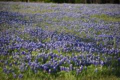 Gebied in Blauwe Bonnetten in Oost-Texas wordt behandeld dat royalty-vrije stock fotografie