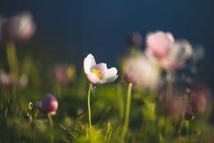 Gebied bloemen De wilde noordelijke anemonen bloeit het bloeien in de lente of zomer in Yakutia, Siberië royalty-vrije stock foto