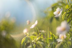 Gebied bloemen De wilde noordelijke anemonen of Pulsatilla bloeien het bloeien in de lente of zomer in Yakutia, Siberië royalty-vrije stock foto's