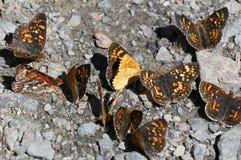 Gebied Crescent Butterflies - Phyciodes-pulchella Royalty-vrije Stock Foto