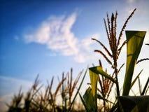 Gebied die van leeswijzer, stuifmeel en graanstelen in landbouwbedrijf groeien royalty-vrije stock foto's