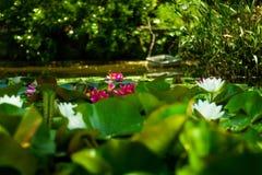 Gebied die van Lotus-bloemen, tussen de wateren van een meer liggen stock fotografie