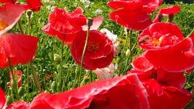 Gebied en tuinbloemen Stock Afbeelding