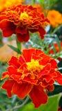 Gebied en tuinbloemen Stock Foto