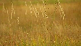 Gebied Gras wind Daling het geel groot stock videobeelden
