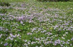 Gebied met blauwe bloem. Stock Afbeeldingen