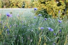 Gebied met bloemen Royalty-vrije Stock Afbeelding