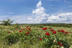Gebied met bloemen, rode pioen met een achtergrond van zonnige hemel Stock Afbeeldingen