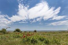 Gebied met bloemen, rode pioen met een achtergrond van zonnige hemel Royalty-vrije Stock Foto's