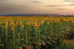 Gebied met de zonnebloem van de landbouwgewasinstallatie in de avond zon stock foto's