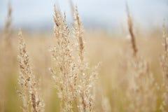 Gebied met droog gras Stock Afbeeldingen