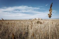 Gebied met droog gras en eenzame aar stock afbeeldingen