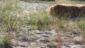 Gebied met droog gras en stro In de wind, is er een droog gras Droog gouden gras op gebied op zonsondergang in de de zomertijd stock footage