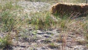 Gebied met droog gras en stro In de wind, is er een droog gras Droog gouden gras op gebied op zonsondergang in de de zomertijd stock videobeelden
