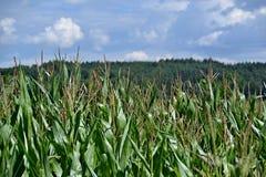 Gebied met een maïs Royalty-vrije Stock Foto
