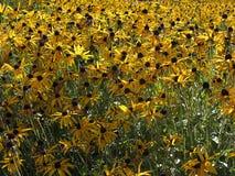 Gebied met gele bloemen Stock Foto