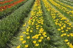 Gebied met gele en rode tulpen Royalty-vrije Stock Foto's