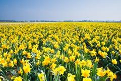Gebied met gele gele narcissen in april Royalty-vrije Stock Foto