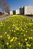 Gebied met gele narcissenbloemen Stock Afbeelding