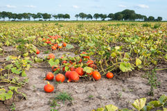 Gebied met geoogste oranje pompoenen in een rij Stock Afbeeldingen