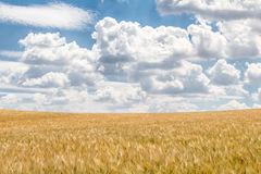 Gebied met gouden graan onder verbazende blauwe hemel stock foto