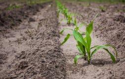 Gebied met graan, in de voorgrond wordt geplant een jong struikgraan dat Royalty-vrije Stock Foto