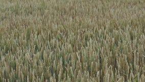 Gebied met graangewassen De lentelandbouw stock video