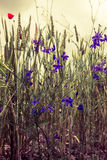 Gebied met gras, violette bloemen en rode papavers op zonsondergang stock foto