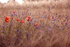 Gebied met grassen, papavers en korenbloemen in de provincie Italië royalty-vrije stock foto