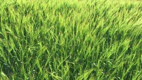 Gebied met groene oren van tarwe stock videobeelden