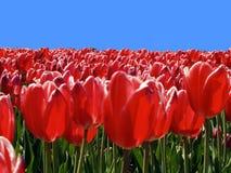 Gebied met heldere rode tulpen en blauwe hemel stock foto's