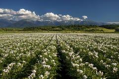 Gebied met het bloeien van aardappel bij de voet van berg Royalty-vrije Stock Foto